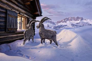 enavant-graubuenden-steinboecke-gian-giachen-winter-2016